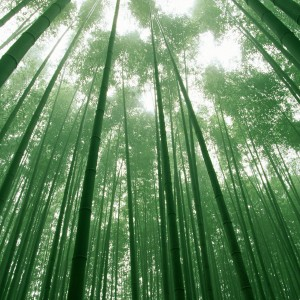 6910047-bamboo-forest